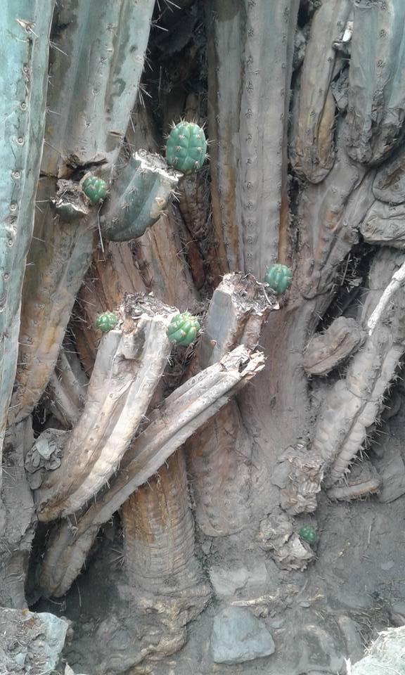 Photos Trichocereus santaensis Chavin de Huantar El Lanzon Trichocereus santaensis Echinopsis santaensis Riley Flatten 22