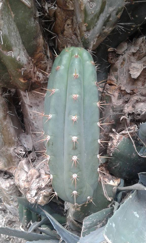 Photos Trichocereus santaensis Chavin de Huantar El Lanzon Trichocereus santaensis Echinopsis santaensis Riley Flatten 3