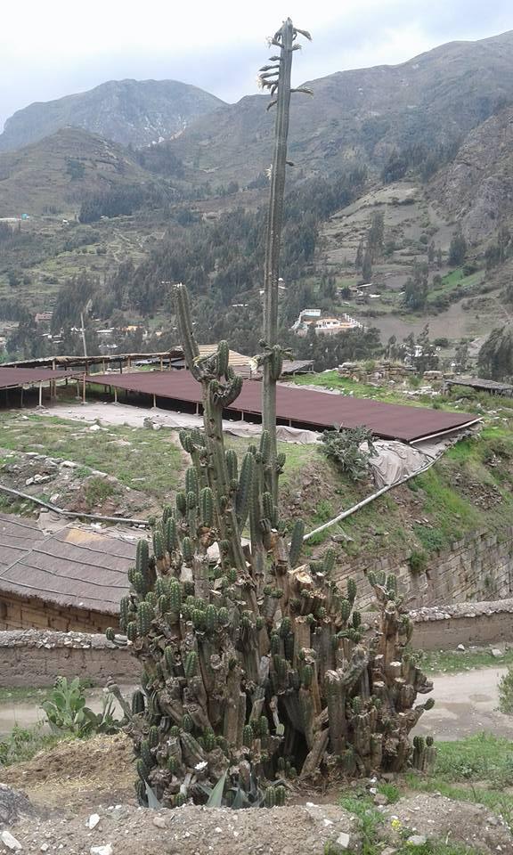 Photo Trichocereus Chavin de Huantar El Lanzon Trichocereus santaensis Echinopsis Riley Flatten