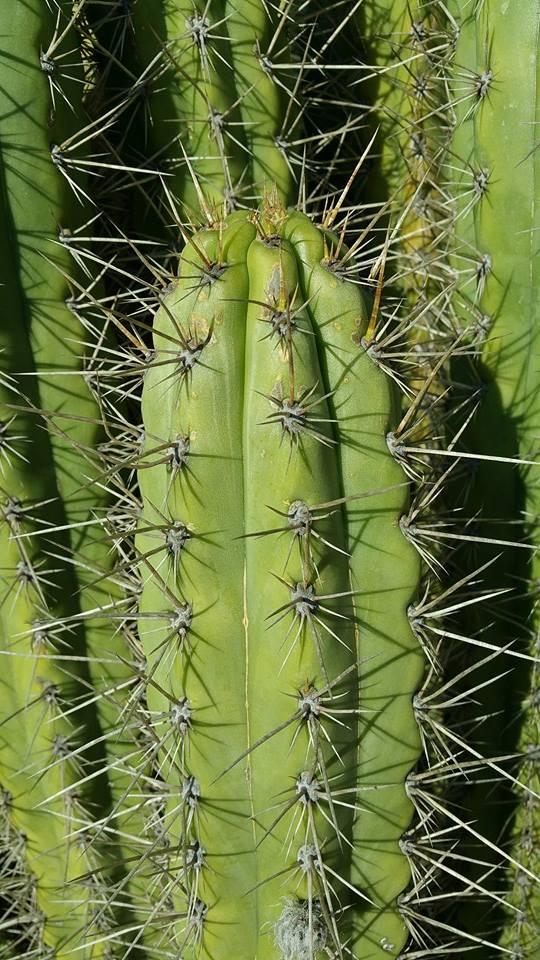 Trichocereus cuzcoensis - Echinopsis cuzcoensis