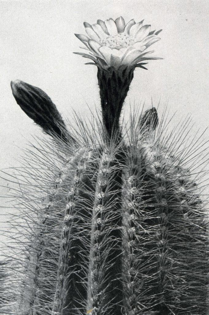 Trichocereus Herzogianus ssp Totorensis367