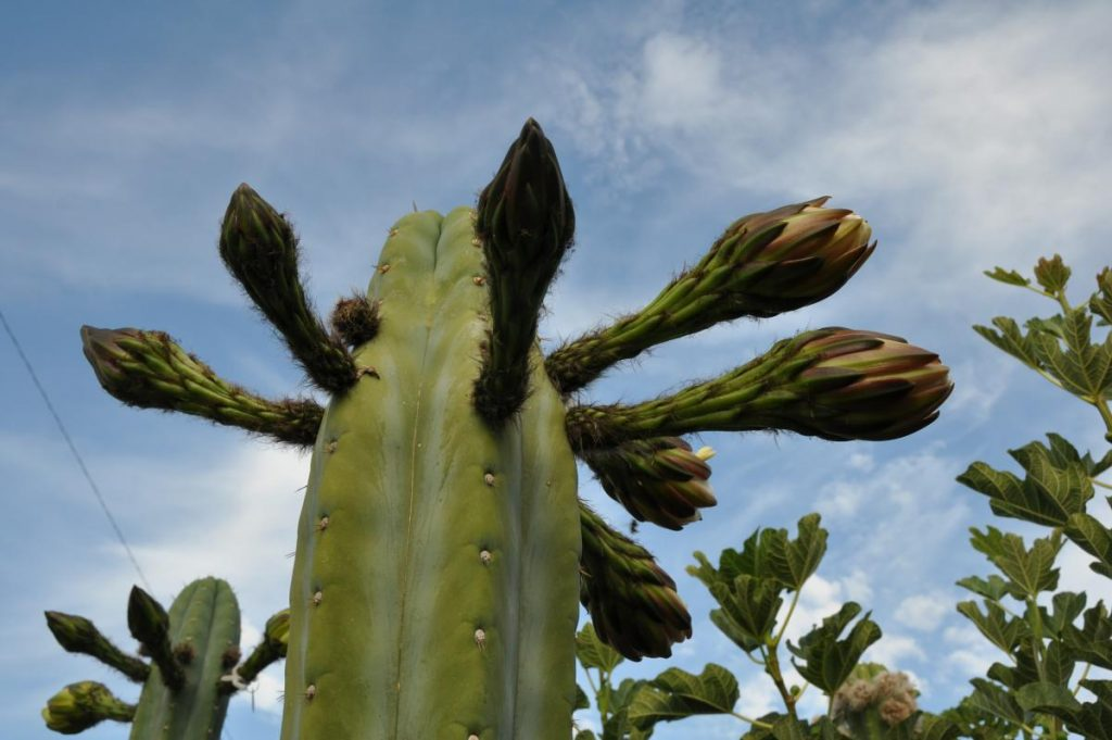 Trichocereus huanucoensis Echinopsis Misplant 11