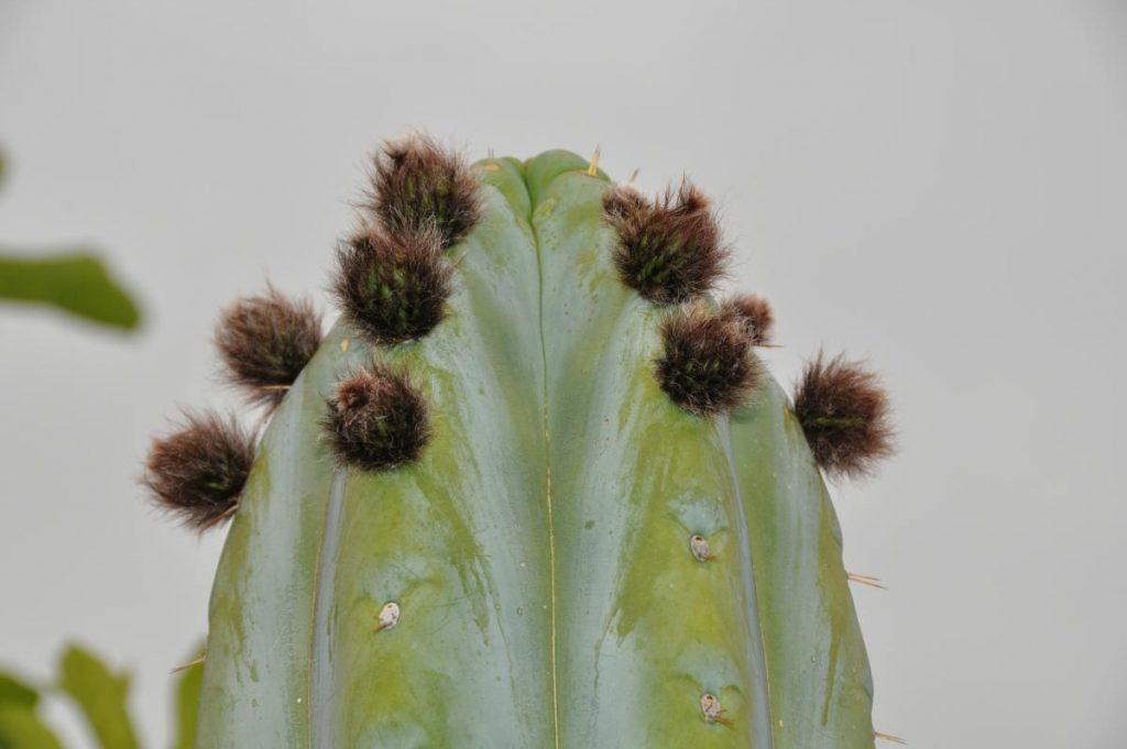 Trichocereus huanucoensis Echinopsis Misplant 2