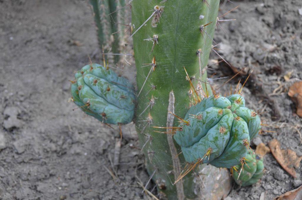 Trichocereus huanucoensis Echinopsis Misplant 3