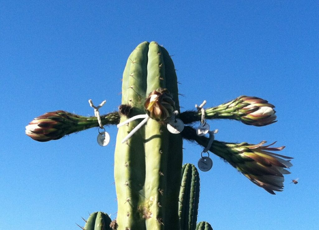 Trichocereus huanucoensis Echinopsis Misplant