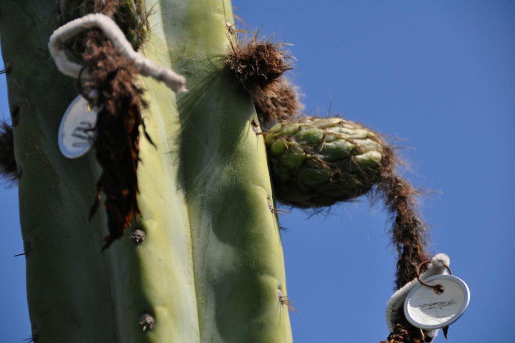 Trichocereus huanucoensis Echinopsis Misplant 6