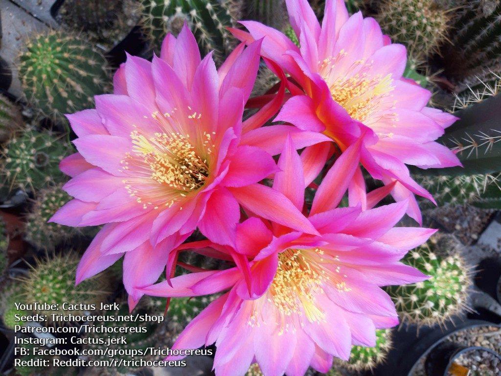 Trichocereus KA1 Echinopsis Gräser flower Flowers cactus cacti seeds 2