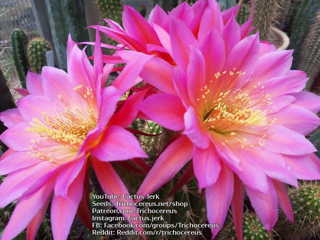 Trichocereus KA1 Echinopsis Gräser flower Flowers cactus cacti seeds 3