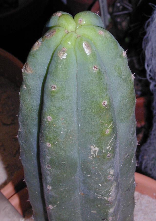 Trichocereus KK242 Matucana K39_3_jpg