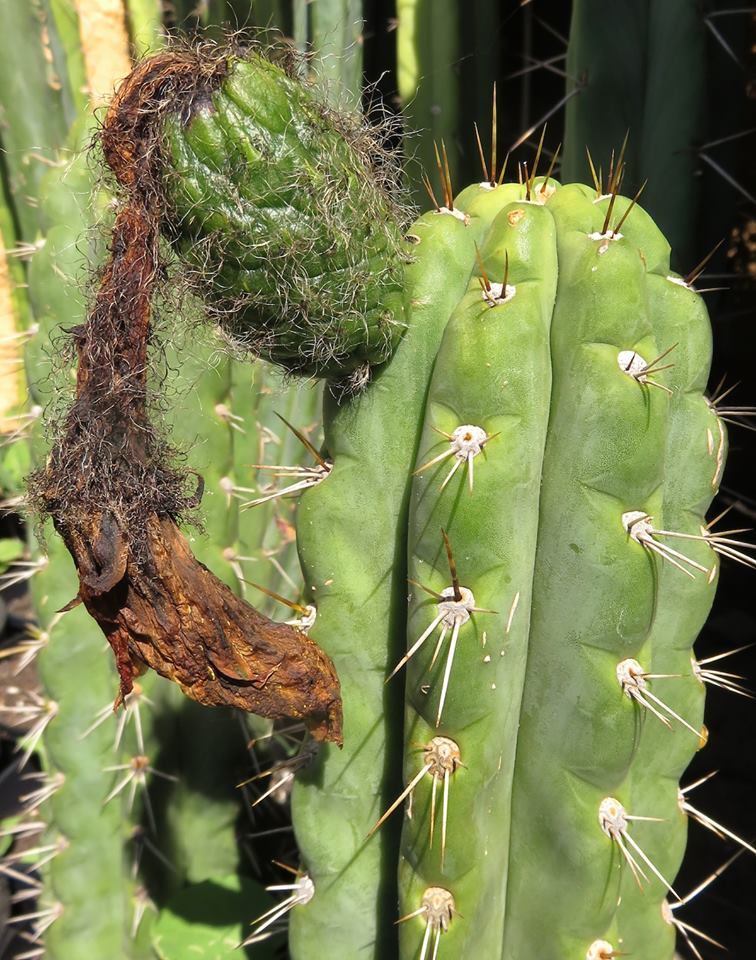 Trichocereus knuthianus Echinopsis knuthiana 77