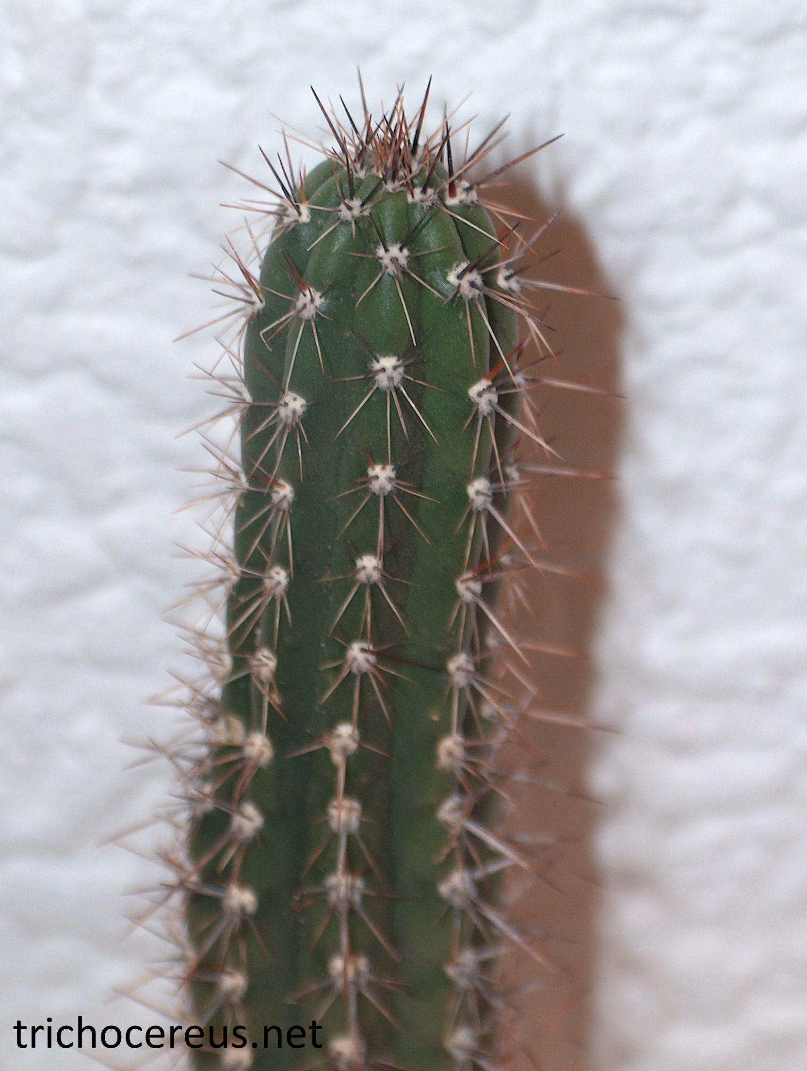 Trichocereus Lamprochlorus 3 (Echinopsis)