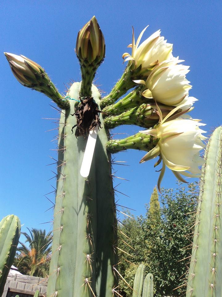 Trichocereus Macrogonus Fields Flower 3