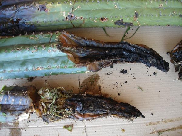 Trichocereus Pachanoi Bogan 3