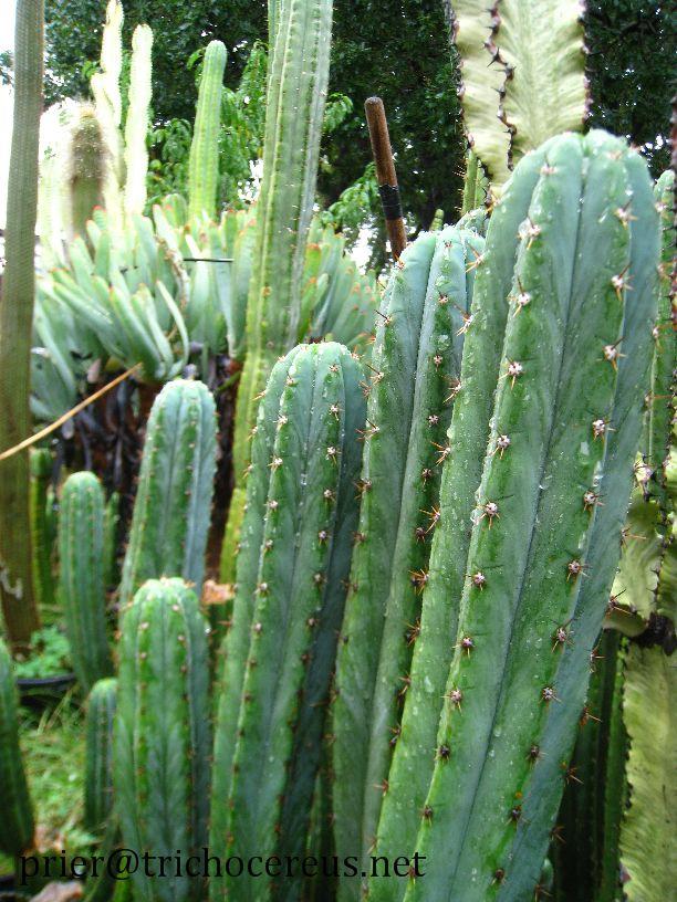 Trichocereus Pachanoi Bogan_2