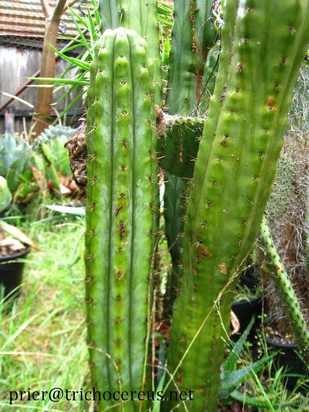 Trichocereus Pachanoi Bogan_3