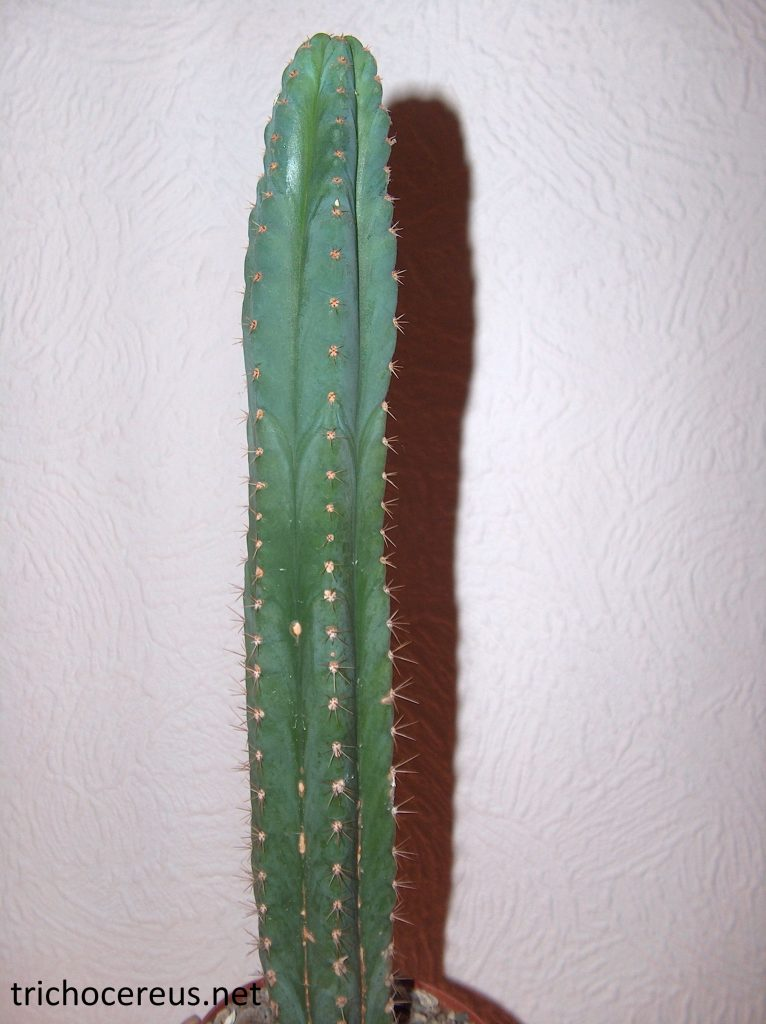 Trichocereus Pachanoi San Pedro 52