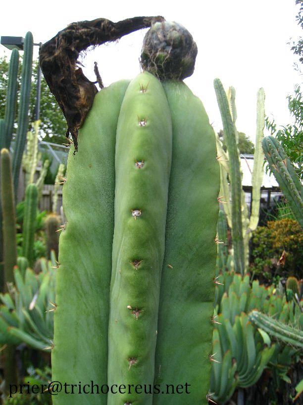 Trichocereus Scopulicola Super Pedro