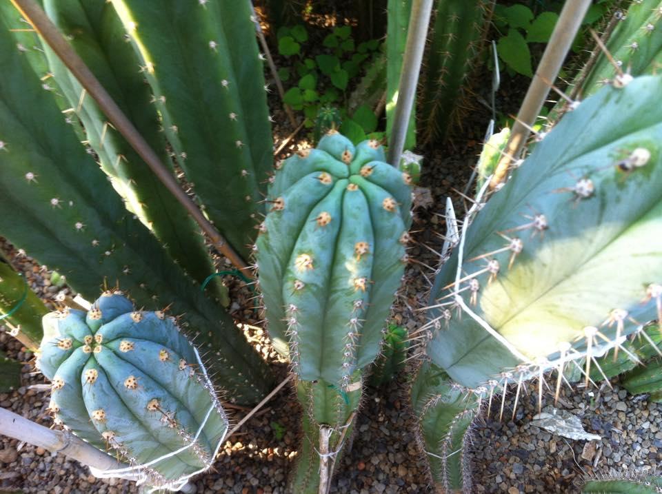 Trichocereus Peruvianus Los Gentiles 1