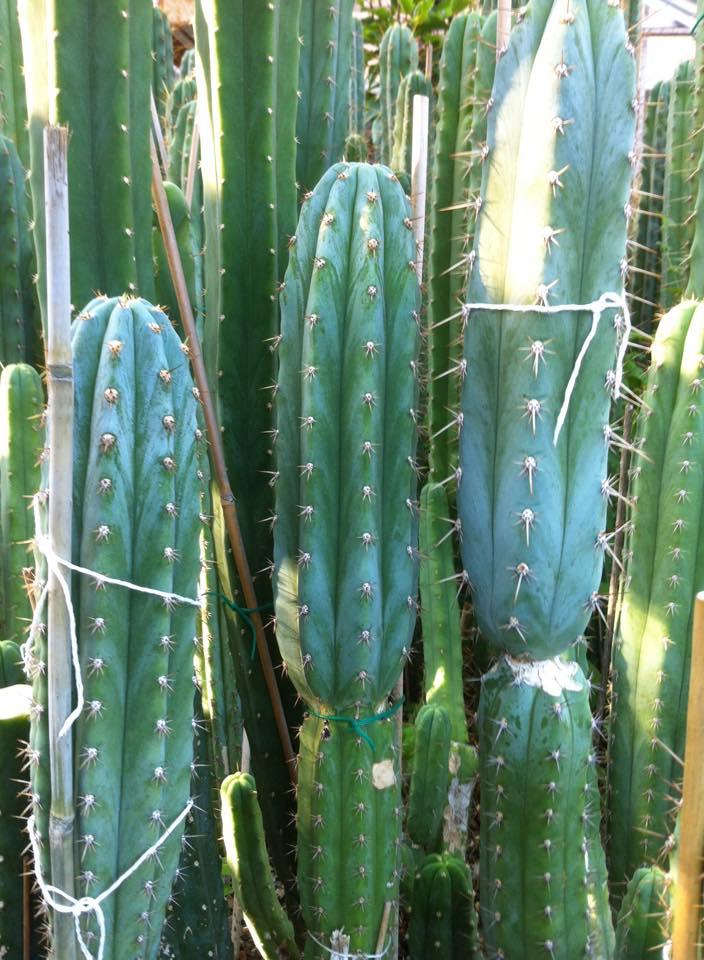 Trichocereus Peruvianus Los Gentiles 4