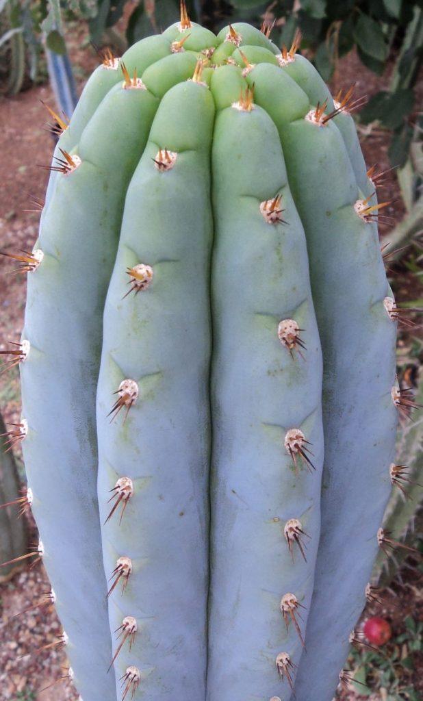 Trichocereus peruvianus Echinopsis peruviana Sharxx Blue Matucana