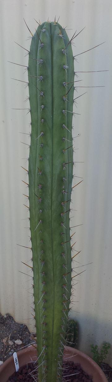 Trichocereus Peruvianus_HB01 Zed__005