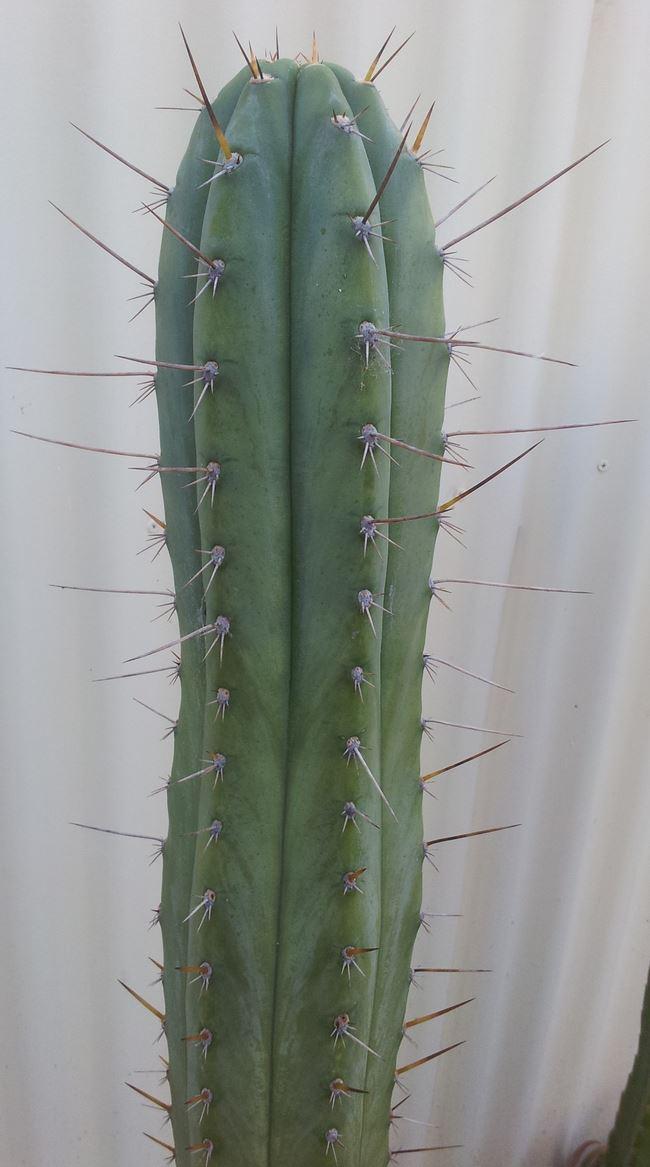 Trichocereus Peruvianus_HB01 Zed__006