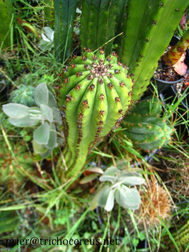 Trichocereus Purpureopilosa  2 Trichocereus brevispinulosus