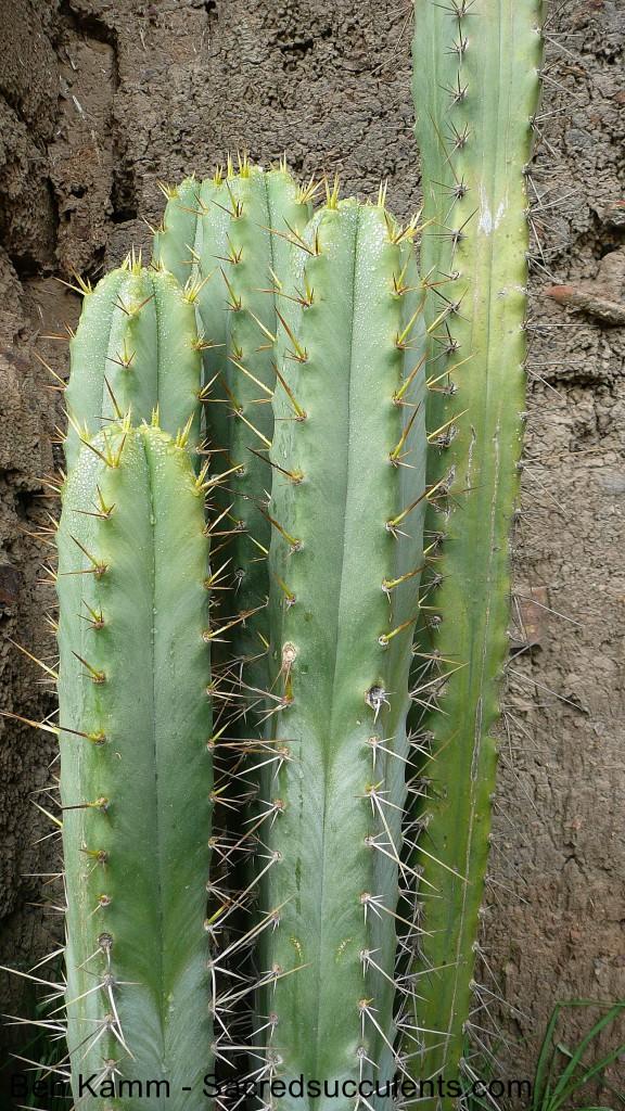 Trichocereus Spachianus (Echinopsis Spachiana Lemaire ...