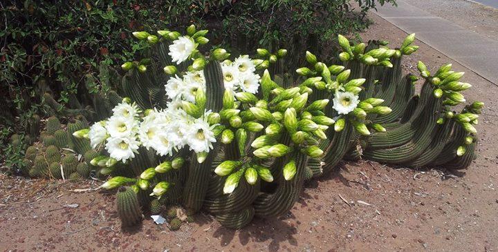 Trichocereus schickendantzii Echinopsis schickendantzii Gus 2