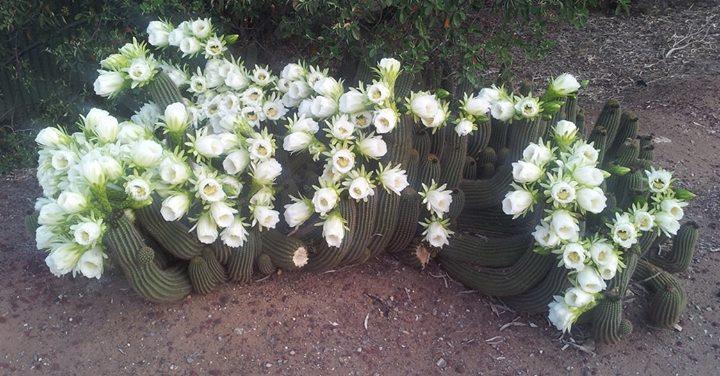 Trichocereus Schickendantzii flowers 1