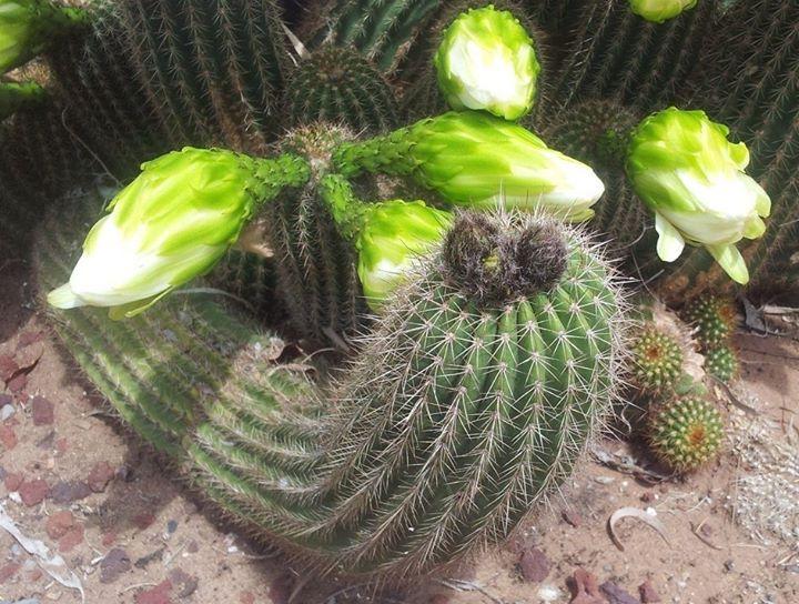 Trichocereus Schickendantzii flowers 2
