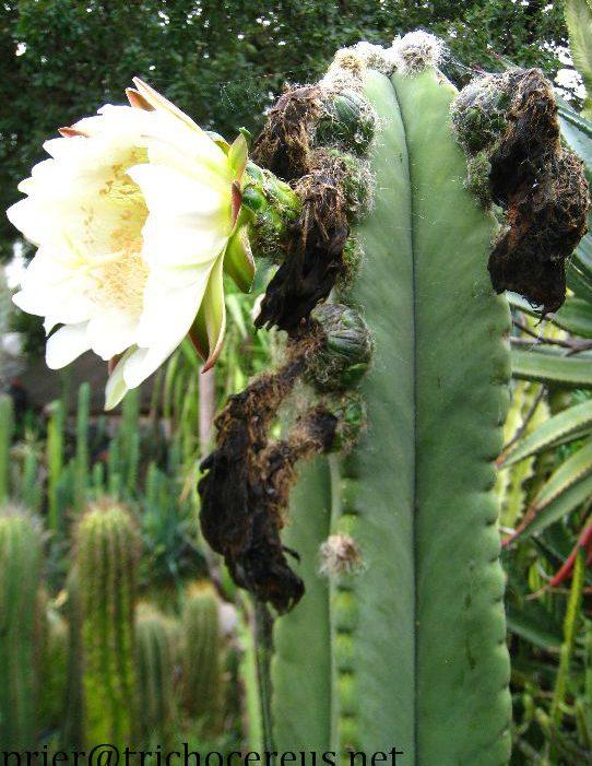 Trichocereus scopulicola Seeds Samen Echinopsis