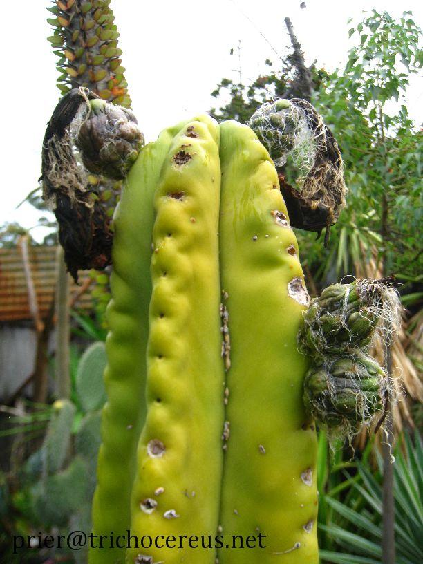 Trichocereus scopulicola Echinopsis scop scopulicola fruit