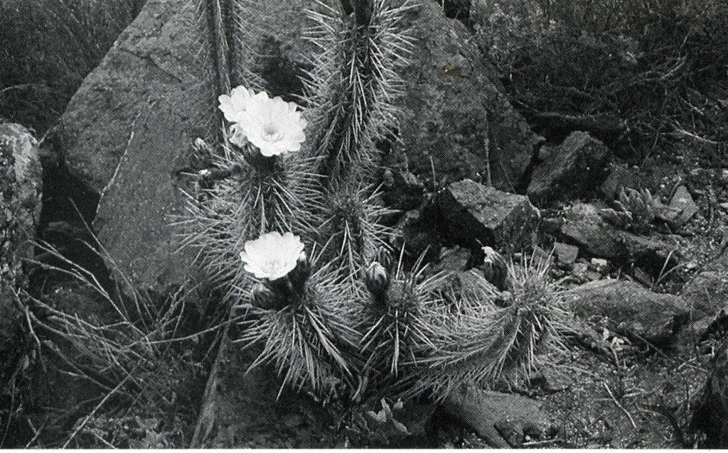 Trichocereus Spinibarbis aka Nigripilis312