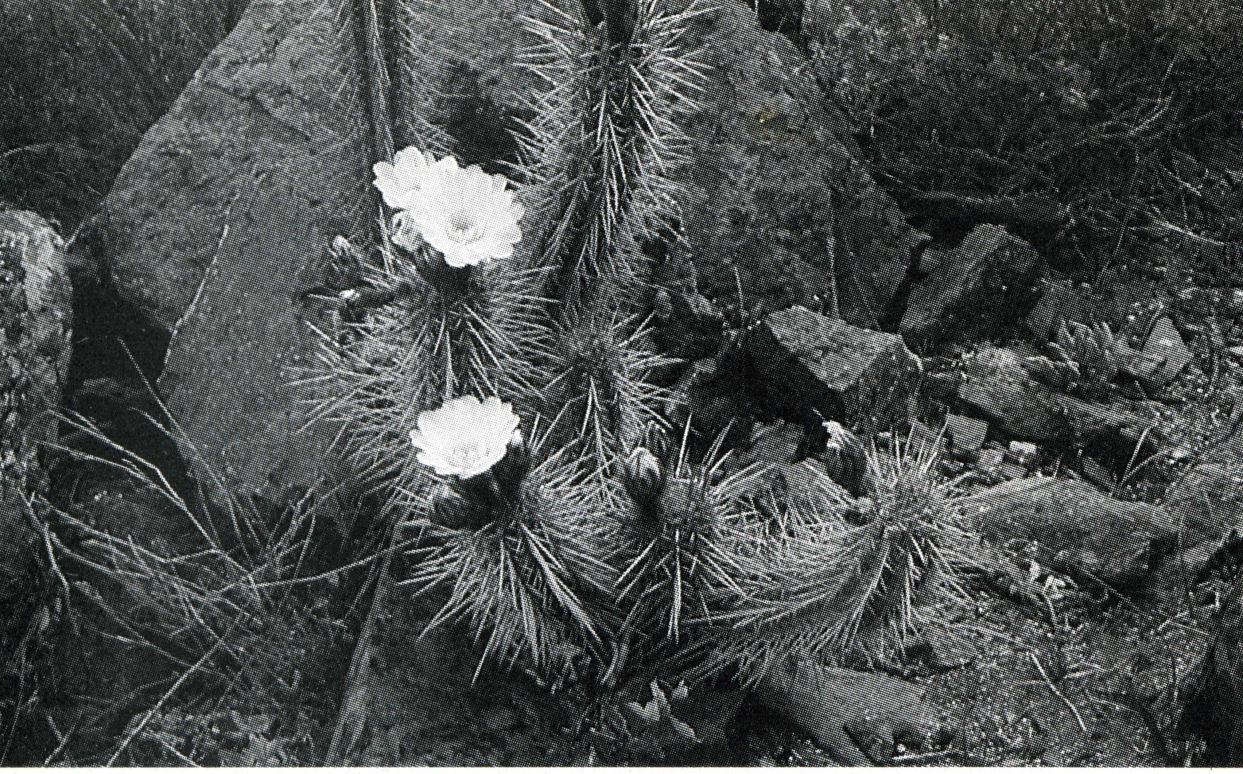 Trichocereus Spinibarbis aka Nigripilis312 scaled FR536