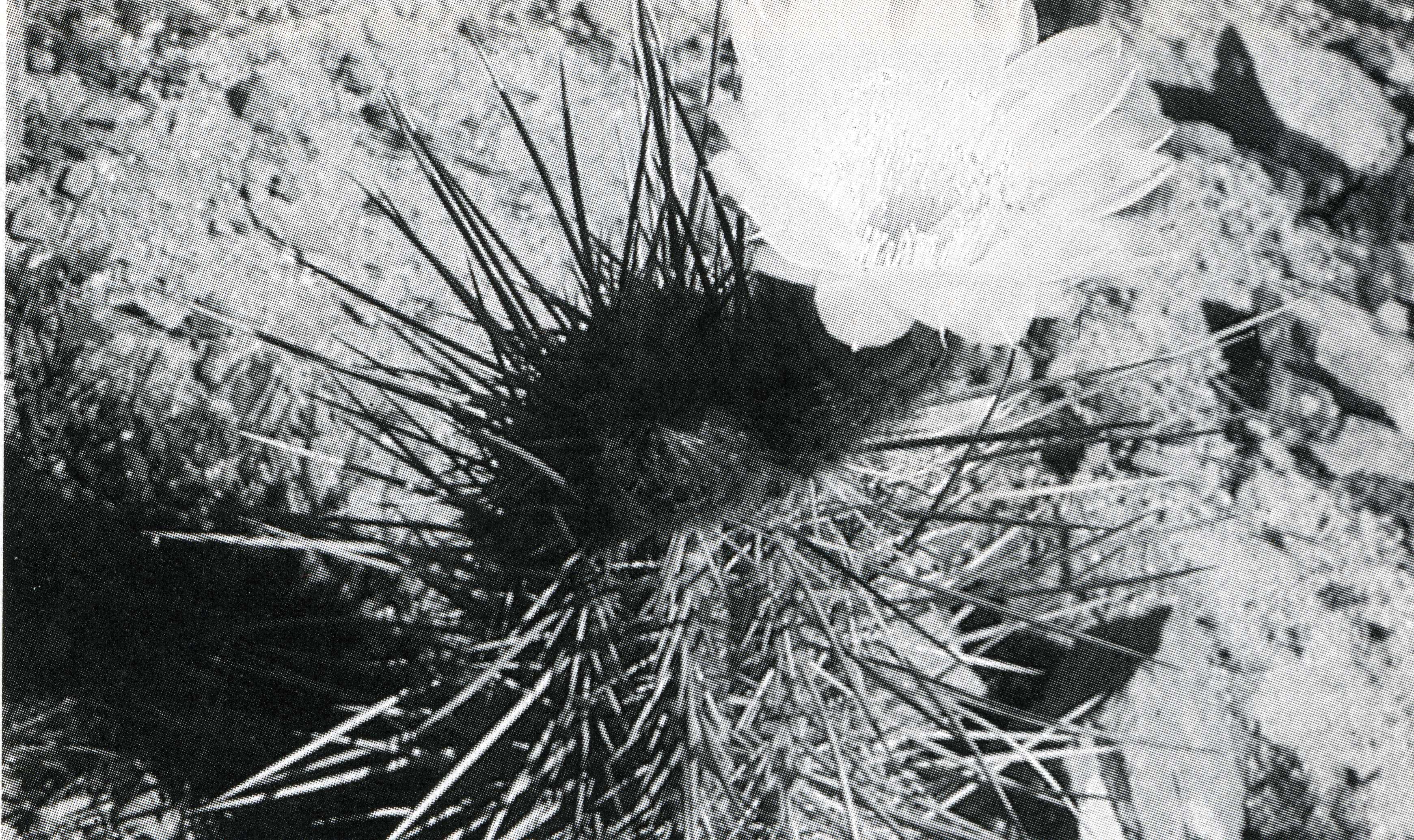 Trichocereus Spinibarbis aka Nigripilis313
