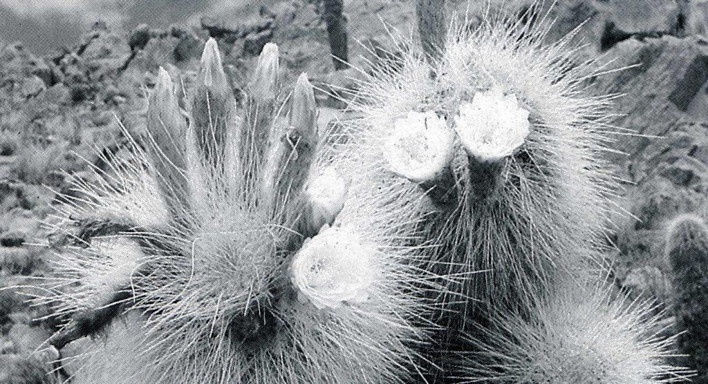 Trichocereus poco Trichocereus tarijensis ssp. poco Echinopsis tarijensis 2