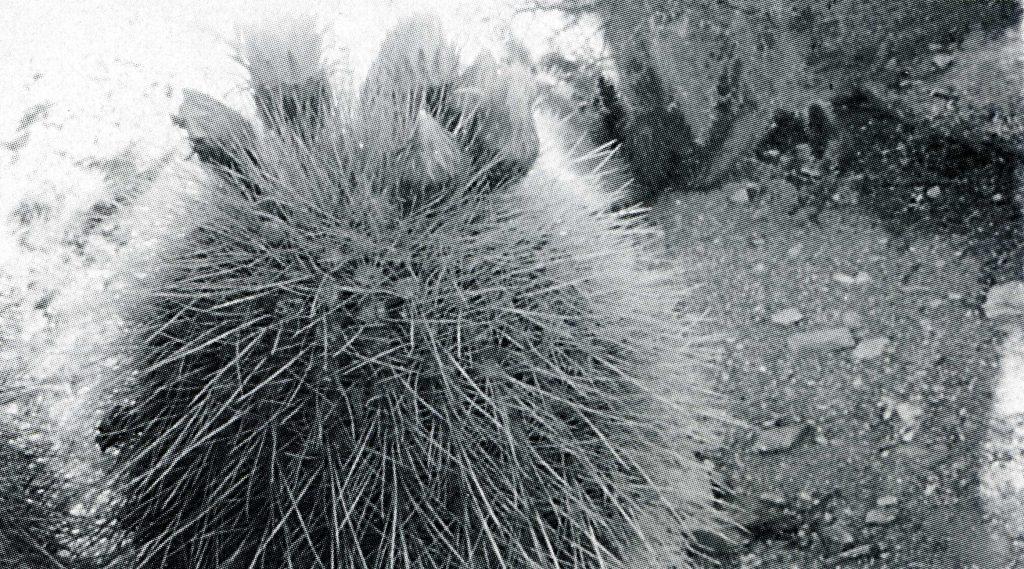 Trichocereus Tarijensis Poco352