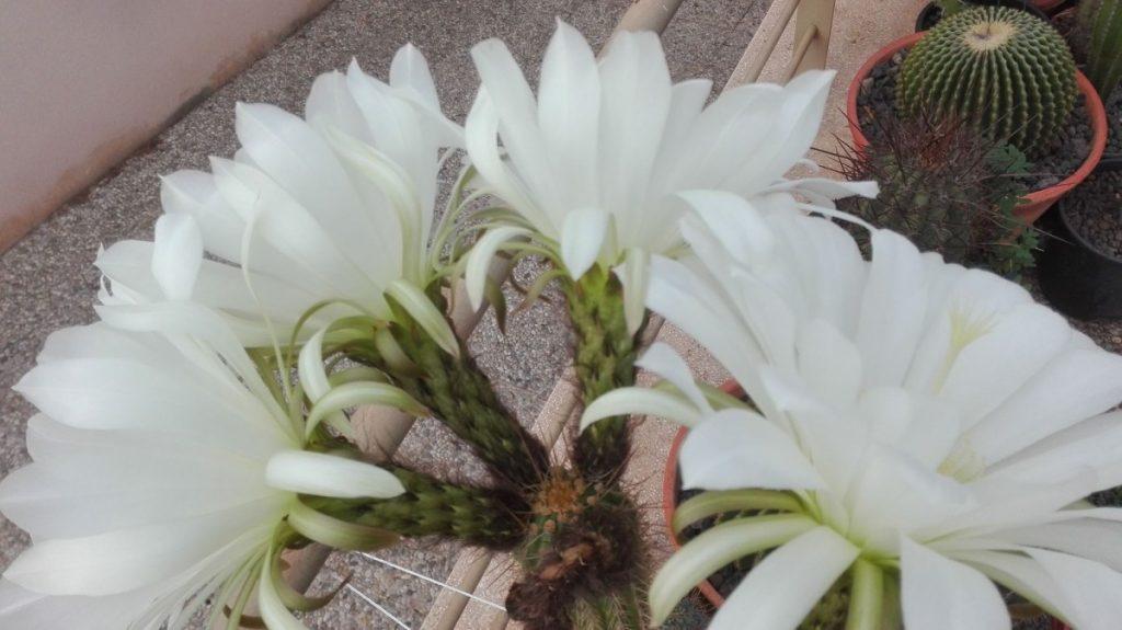 Trichocereus angelesii Echinopsis angelesii angelesiae