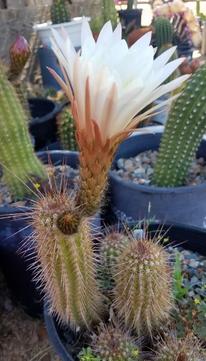 Trichocereus angelesii Echinopsis angelesii