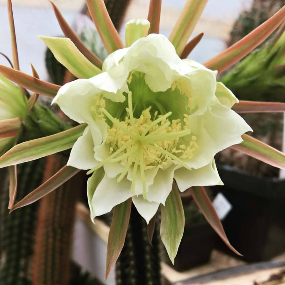Trichocereus arboricola (Echinopsis arboricola)