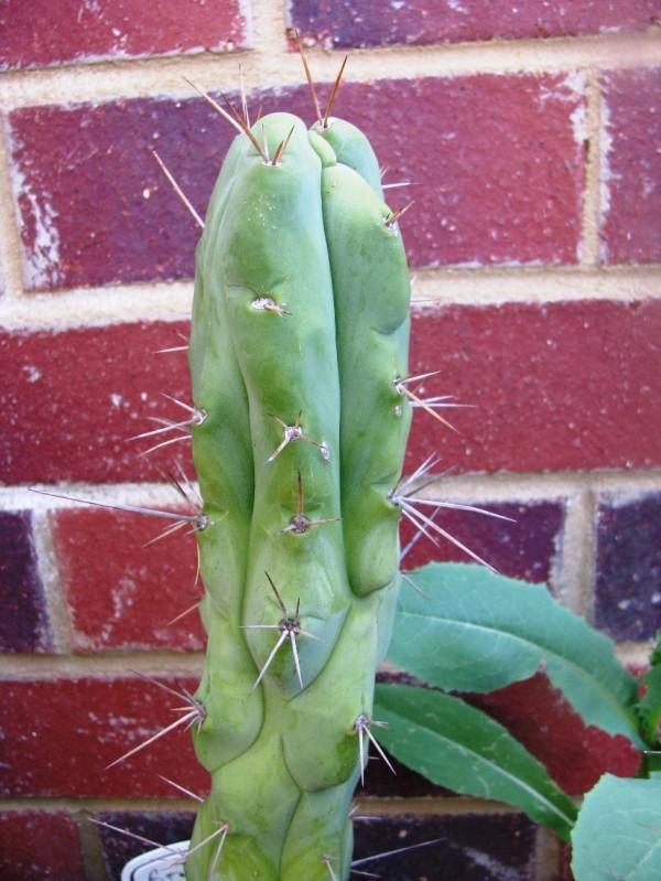 Trichocereus bridgesii Echinopsis lageniformis GOT Bruce 4.jpg