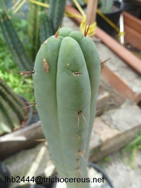 Trichocereus bridgesii Echinopsis lageniformis Bruce