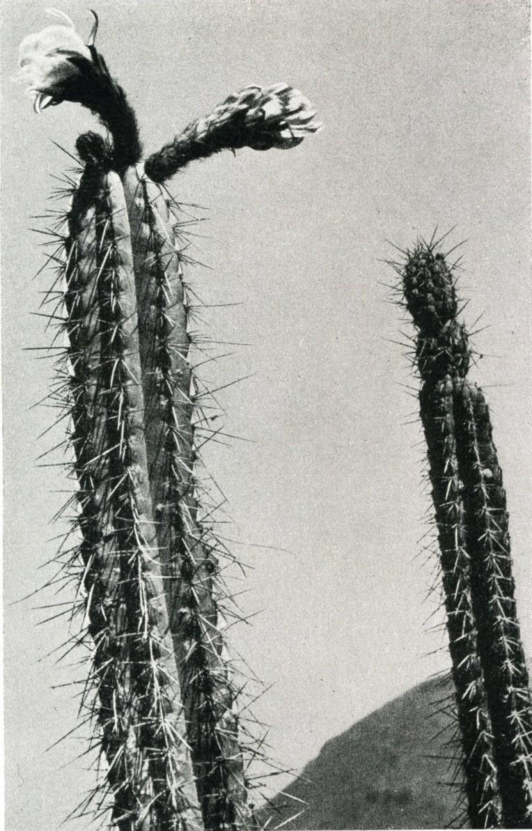 Trichocereus chalaensis Backeberg