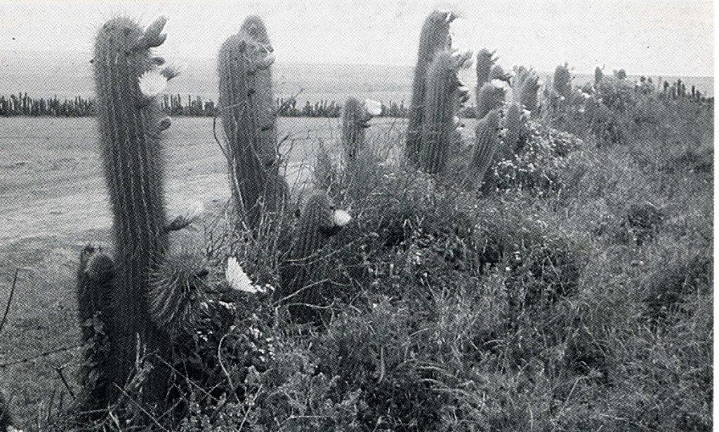 Trichocereus chiloensis ssp. skottsbergii Friedrich Ritter