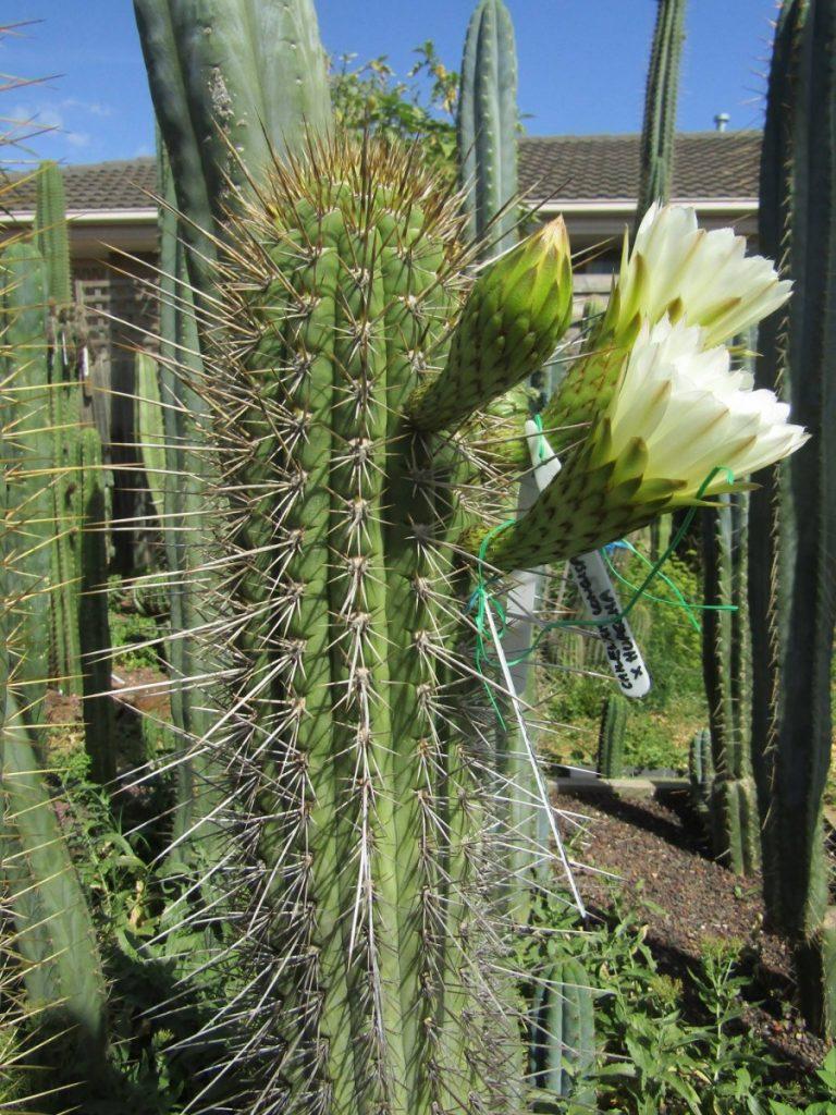 Trichocereus chiloensis v. longispinus from Fields Echinopsis chiloensis Rodni Kisar