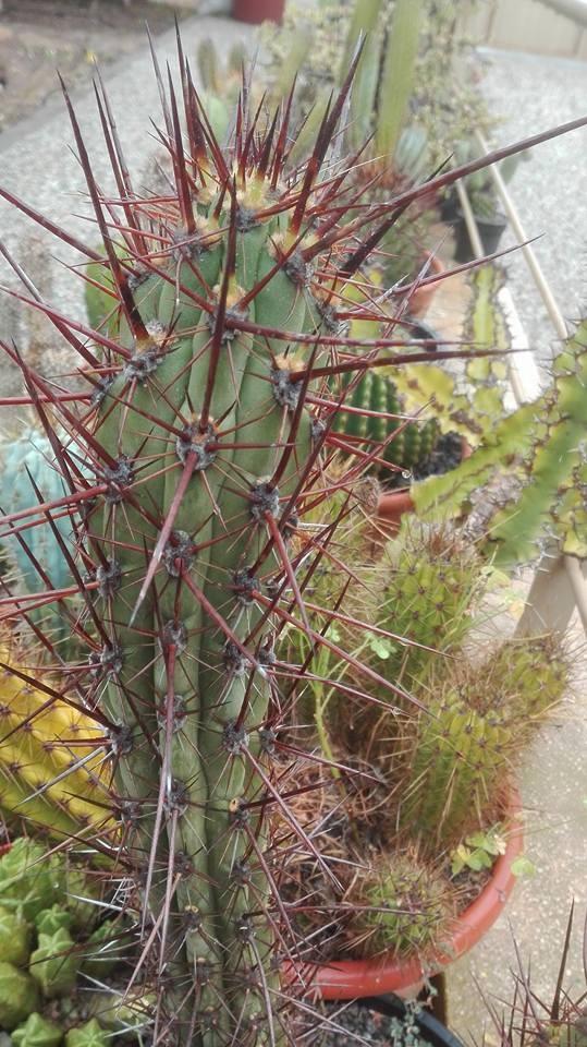 Trichocereus deserticolus Echinopsis deserticola Pedro Lopez Artes (11)