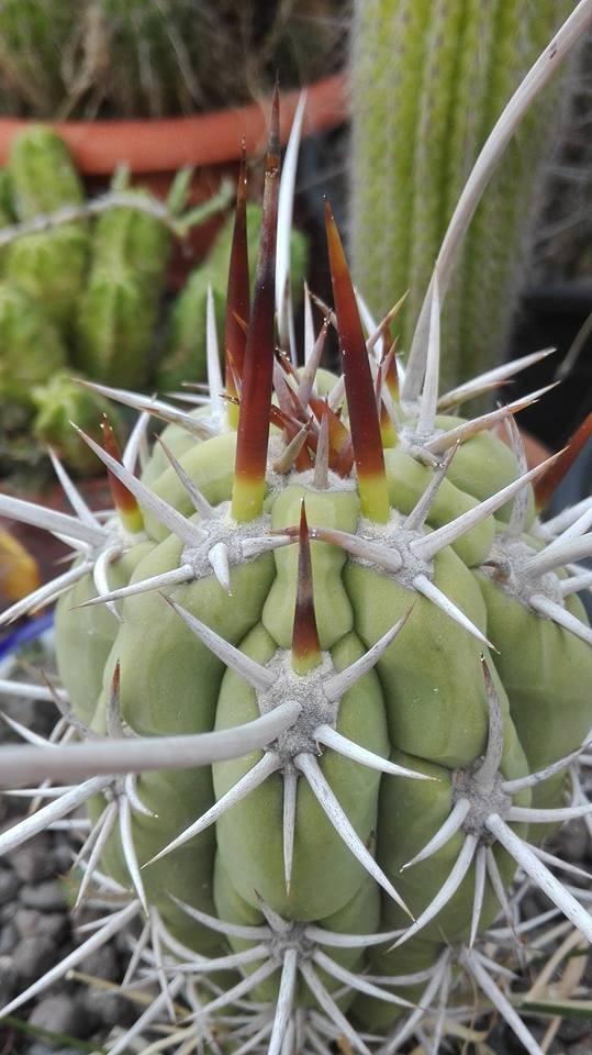 Trichocereus deserticolus Echinopsis deserticola Pedro Lopez Artes (8)