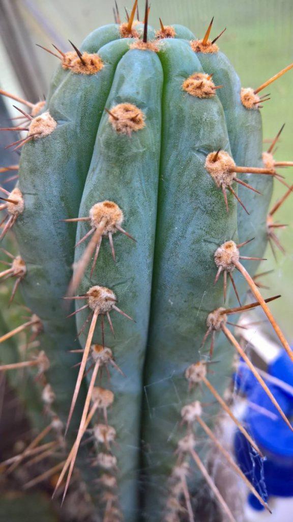 Trichocereus glaucus Echinopsis glauca KK336