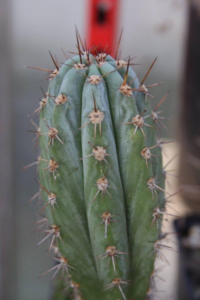Trichocereus glaucus Echinopsis glauca Patrick Noll 2